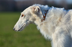 Wolfhound russo bianco Fotografie Stock