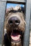 Wolfhound ` s nosa zakończenie up za barami obraz royalty free