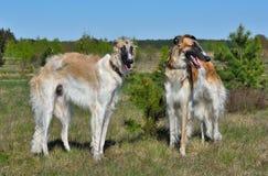 wolfhounds русского 2 Стоковая Фотография