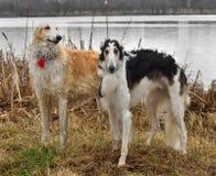 wolfhounds русского 2 Стоковое Изображение