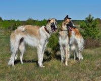 wolfhounds русского 2 стоковая фотография rf