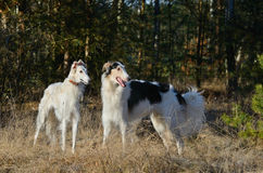 wolfhounds русского 2 Стоковое фото RF