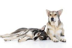 2 wolfhounds Стоковая Фотография RF