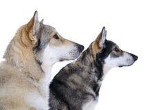 2 wolfhounds Стоковое Изображение RF