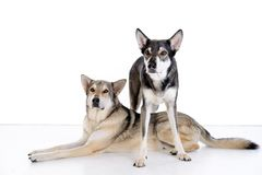 2 wolfhounds Стоковое Изображение