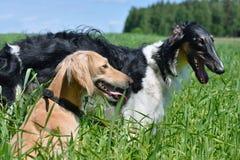 2 wolfhounds Стоковая Фотография