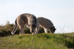 Wolfhounds Stock Images