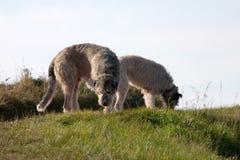 wolfhounds Стоковые Изображения