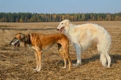 2 wolfhounds Стоковые Изображения RF