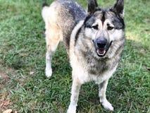 Wolfhund Lizenzfreies Stockfoto