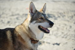 Wolfhund auf dem Strand Stockfotografie