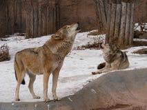 Wolfish lied Royalty-vrije Stock Fotografie
