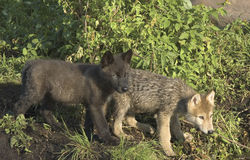 Wolfjunge Stockfotografie