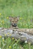 Wolfjunges Lizenzfreies Stockfoto