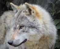 Wolfnahaufnahme im Wald Stockfotografie