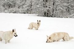 wolfpack Στοκ εικόνα με δικαίωμα ελεύθερης χρήσης