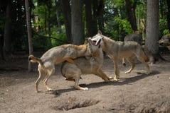 wolfpack Стоковые Изображения