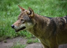 Wolfporträt stockfotos
