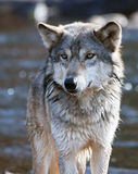 Wolfportrait Stockbilder
