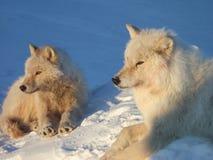 Wolfs árticos fotografia de stock