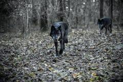 Wolfs στο παραμύθι Στοκ Εικόνες