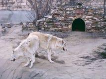 Wolfs в зоопарке Стоковое Изображение