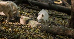 Wolfs с деревом Стоковое Изображение RF