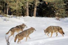Wolfs Stock Image