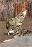 Wolfs Royalty-vrije Stock Fotografie