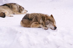 Wolfs Royalty Free Stock Image