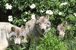 Wolfs. Three wolfs in forest during summer Stock Images