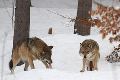 Wolfs Stock Images