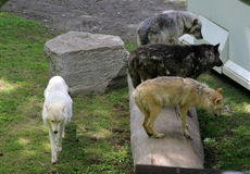 wolfs Royalty-vrije Stock Foto's