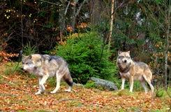 wolfs fotografia stock libera da diritti