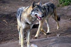 wolfs Royaltyfri Fotografi