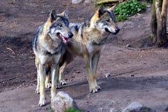 wolfs Royaltyfri Bild