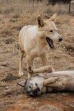 wolfs Стоковые Изображения