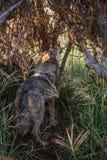 wolfs Стоковое Изображение RF