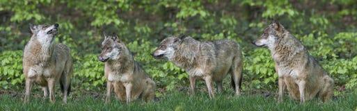 wolfs Стоковые Фото