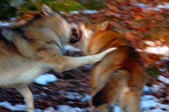 Wolfs in action. European Wolf; NP Bavarian Forest Stock Photos
