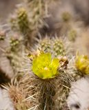 Wolf�s cholla cactus flower Royalty Free Stock Images