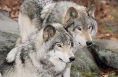 Wolfs in forest. Two gray wolfs in forest during fall Stock Photography