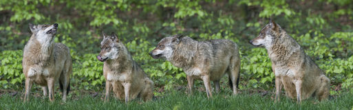 Wolfs. In a forest close up Stock Photos