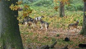 Wolfs grigi di urlo (lupus di Canis) fotografia stock libera da diritti