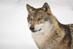 Wolfs head. Head of eurasian wolf on white snow background Stock Photography