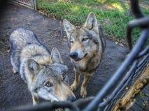 Wolfs i zoo i Ungern Fotografering för Bildbyråer