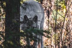 Wolfs o olhar fixo foto de stock royalty free