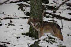 Wolfs på snön, nationalparken Sumava royaltyfri bild