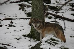 Wolfs on the snow, National Park Sumava. Royalty Free Stock Image