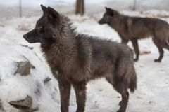 Wolfs on snow in winter Stock Photo